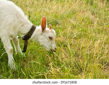 The portrait of white goat. It is eating grass on nature