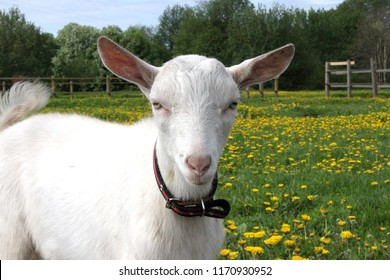 Portrait of a white goat on a background of dandelions