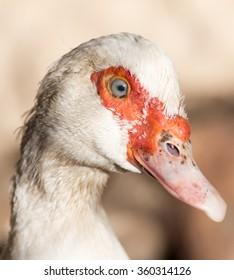 Portrait of a white goose on a farm