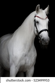 Portrait of a white horse with the bridle isolated on black background
