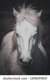 Portrait of a white horse of the Camargue with a fixed and powerful look