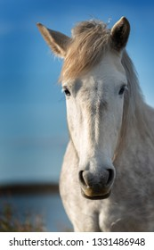 Portrait of white horse in Camargue, France near Les salines of Villeneuves Lès Maguelone, Montpellier, France