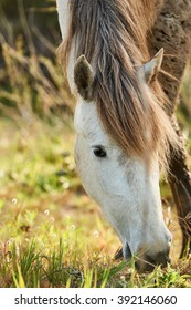 Portrait of a white horse of Camargue while eating