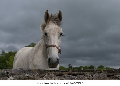 Portrait of a white horse looking out over a grey stone wall with grey stormy sky in the background