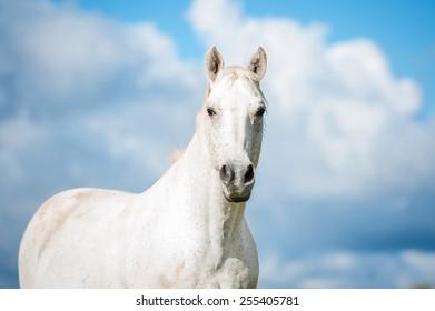 Portrait of white horse on blue sky background