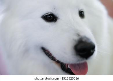 Portrait of a white Japanese Spitz