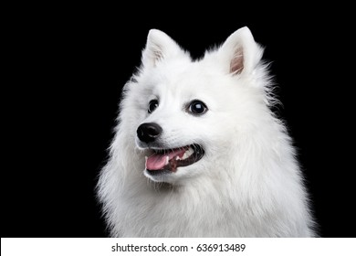 Portrait of White Japanese Spitz,Funny emotions Dog with Curious face on Isolated Black Background, front view