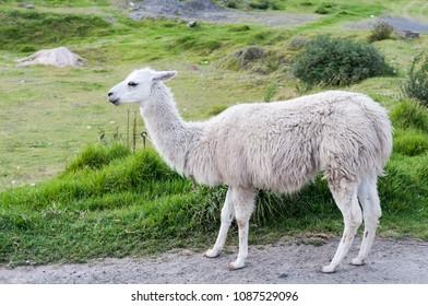 Portrait of a white llama (Lama glama) in the Andes./Portrait of a llama (Lama glama)