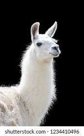 Portrait of a white llama Lama glama isolated on black background