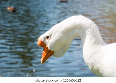 Portrait of white male goose with bright orange beak near river in summer