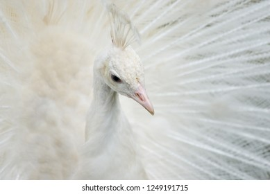 Portrait of a white peacock with open feathers