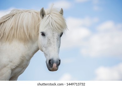 Portrait of a white pony horse with beautiful mane in nature. Horizontal. Copyspace. No people.