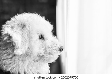 portrait of a white poodle looking put the window