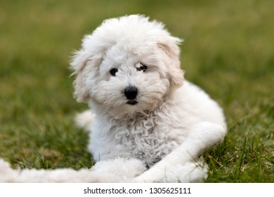 Portrait of a white Poodle puppy outdoors