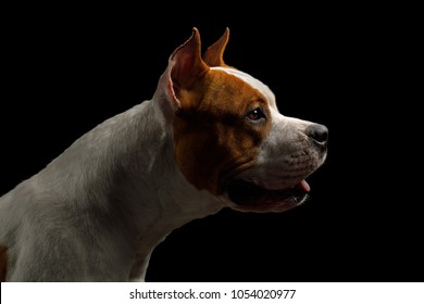 Portrait of White with Red American Staffordshire Terrier Dog, Isolated on Black Background, profile view