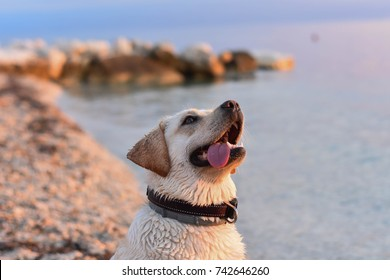 Portrait of white retriever puppy at the beach whit tongue out/ silly face