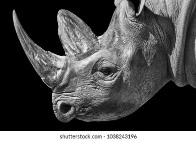 Portrait of a White rhinoceros in Monochrome
