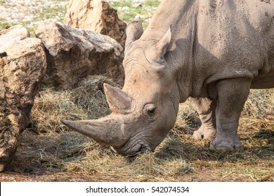 Portrait of a white rhinoceros or square-lipped rhinoceros, Ceratotherium simum. grazing grass.These herbivore grazers are found in grassland and savannah habitat