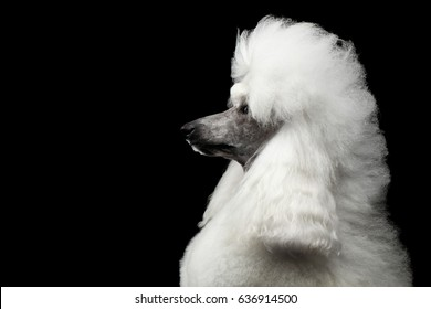 Portrait of White Royal Poodle Dog with Hairstyle Looking at side Isolated on Black Background, Profile view
