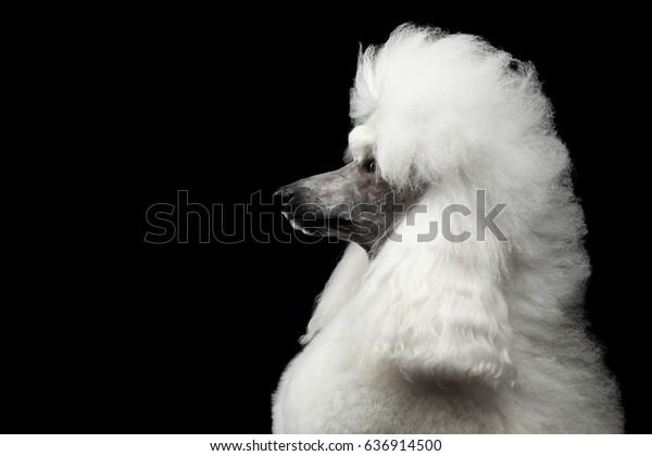 Astonishing Portrait White Royal Poodle Dog Hairstyle Royalty Free Stock Image Natural Hairstyles Runnerswayorg