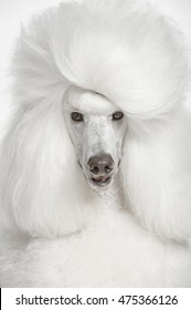 Portrait of white royal poodle on white isolated