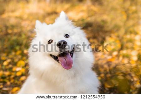 Portrait White Samoyed Dog On Background Stock Photo Edit Now