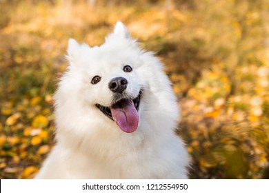 Portrait of white Samoyed dog walks and runs through the autumn yellow forest with leaves