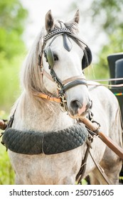 Portrait of white shire breed stallion dressed in carriage driving harnesses