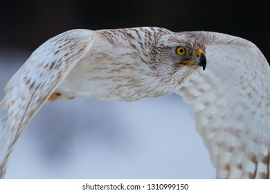 Portrait of White Siberian goshawk,  Accipiter gentilis albidus, rare, almost white hawk with yellow eyes, bird of prey flying very fast in winter landscape.