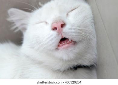 portrait of white sleeping cat