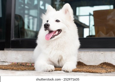 Portrait of White Spitz Dog