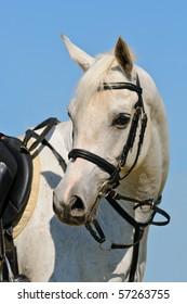 Portrait of white sportive arabian horse against blue sky