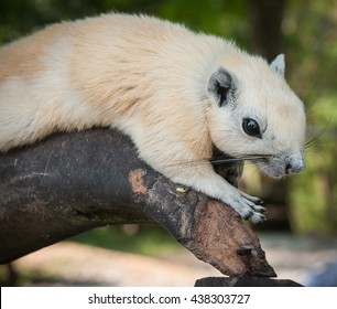 Portrait of a white squirrel, Koh Samui, Land of Smiles