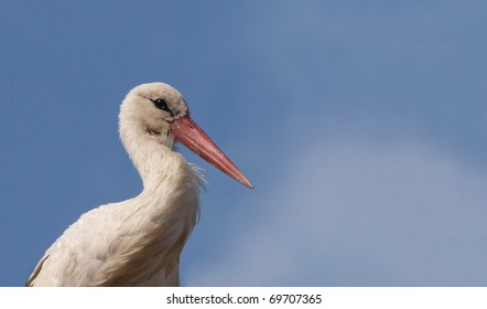 Portrait of a White Stork (Ciconia ciconia) with the sky in the background.