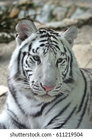 Portrait of the white tiger or bleached tiger (Panthera tigris tigris) which is a pigmentation variant of the Bengal tiger