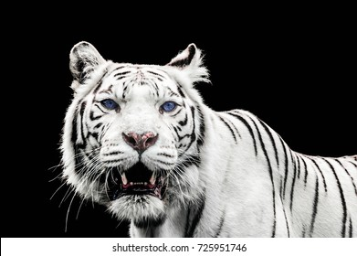 Portrait of a White Tiger with blue eyes isolated on black background