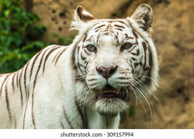 Portrait of a White Tiger on grass in summer day