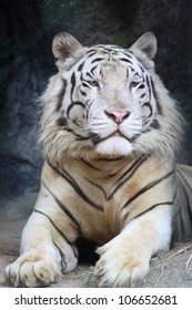 Portrait white tiger on a rock in zoo