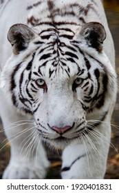 Portrait of a White Tiger. Soft focus