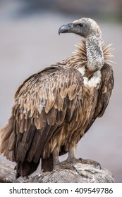 Portrait  of a white-backed african vulture perched on unturned