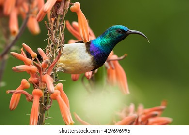 Portrait of White-breasted Sunbird, Cinnyris talatala, beautiful iridescent blue-green african bird feeding on nectar from aloe red flowers. Close-up wildlife photo. KwaZulu Natal, South Africa.