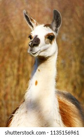 Portrait of a white-brown llama