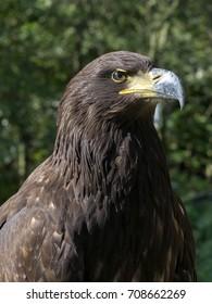 portrait of White-tailed Eagle, Haliaeetus albicilla