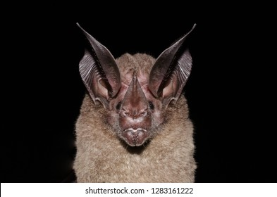 Portrait of White-throated Round-eared Bat (Lophostoma silvicolum)