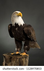 Portrait ( whole body ) of an American Bald Eagle taken in a studio ( Haliaeetus Leucocephalus ) Bird of prey predator
