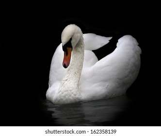 Portrait of whooping swan, isolated on black background. White swan with orange beak in twilight. Wild beauty of a excellent web foot bird.