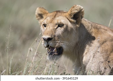 Portrait of wild african lion in its natural habitat