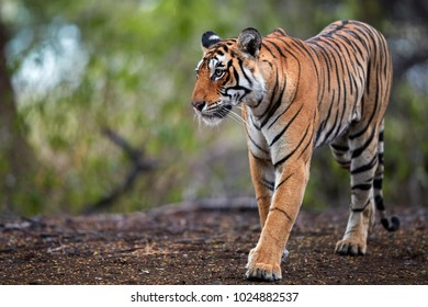 Portrait of wild Bengal tiger, Panthera tigris in its natural habitat. Tigress walking on path, emerging from jungle, perfectly camouflaged. Ranthambore wildlife photography, India.