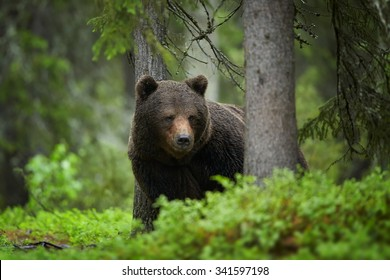 Portrait of  a wild, big male, Brown Bear, Ursus arctos, in deep green european forest, carefully watching surroundings in arctic white night. Finland.