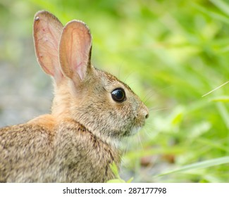 A portrait of a wild brown bunny rabbit in the green fields of the meadow at Bombay Hook Wildlife Refuge in Smyrna, Delaware.